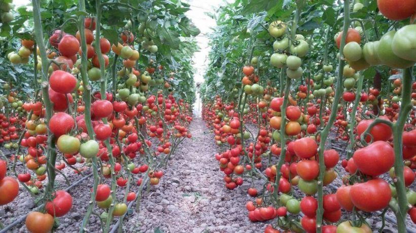 Olmasın Rusiya, olsun Körfəz ölkələri və Avropa -  pomidor ixracımızda yeni ünvanlar var